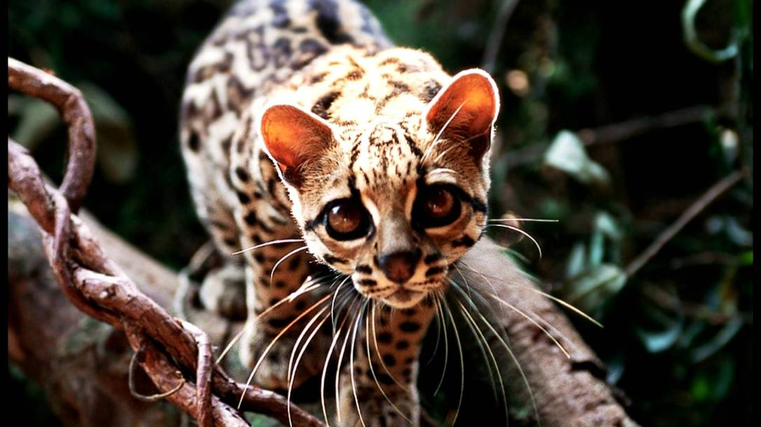 PAG-jaguar