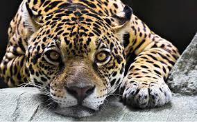 PAG-jaguar1