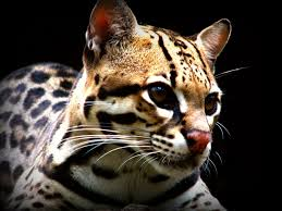 PAG-jaguar2