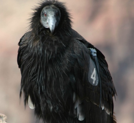 PAG-condor
