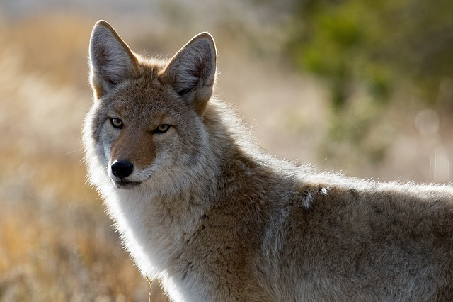 PAG-coyote