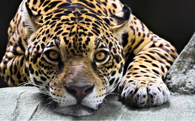 PAG-jaguari