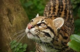 PAG-jaguarotri