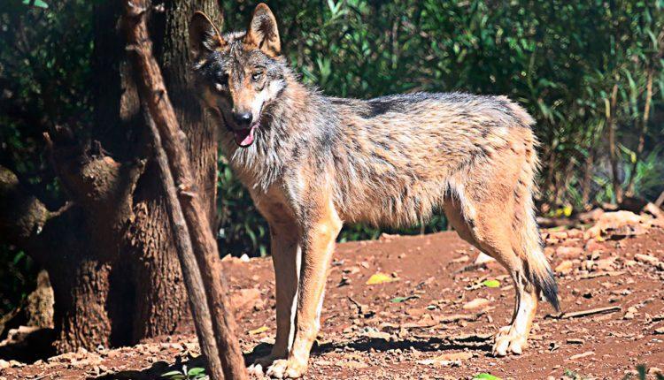 PAG-Lobogrismexicano
