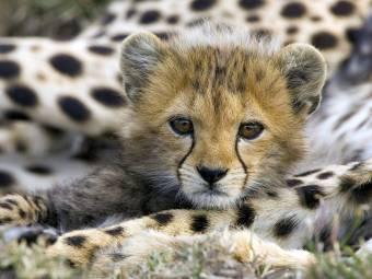 PAG-tigre-bebe