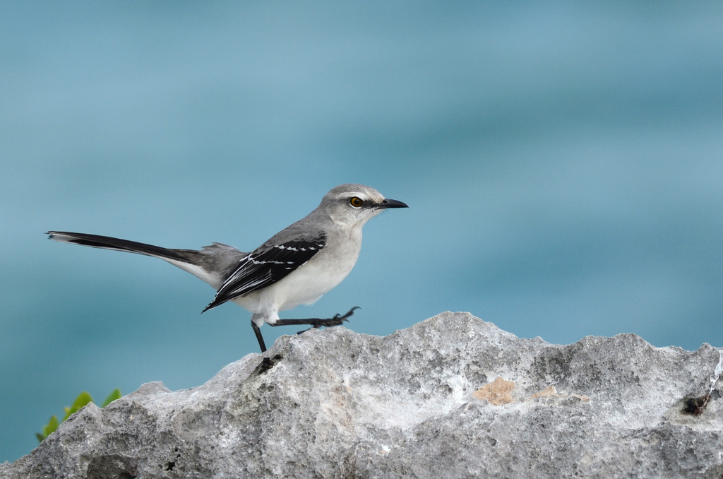PAG-Tropical-Mockingbird.jpg