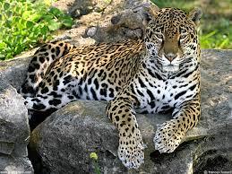 JAGUAR-mexicani
