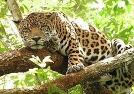 PAG-jaguarmexi