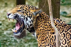 PAG-jaguarmext