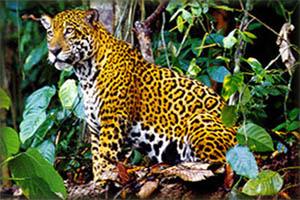 PAG-otorongo_selva