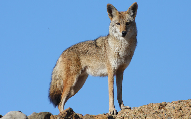 PAG-coyote-1