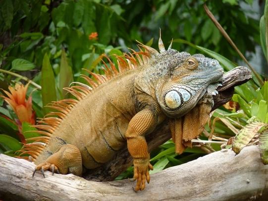 PAG-iguana