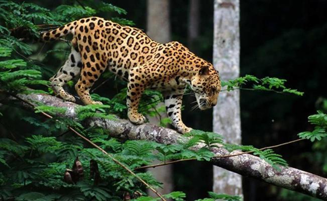 PAG-jaguarbaja