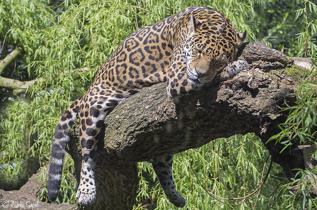 PAG-jaguarduerme