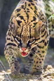 PAG-jaguarhermoso