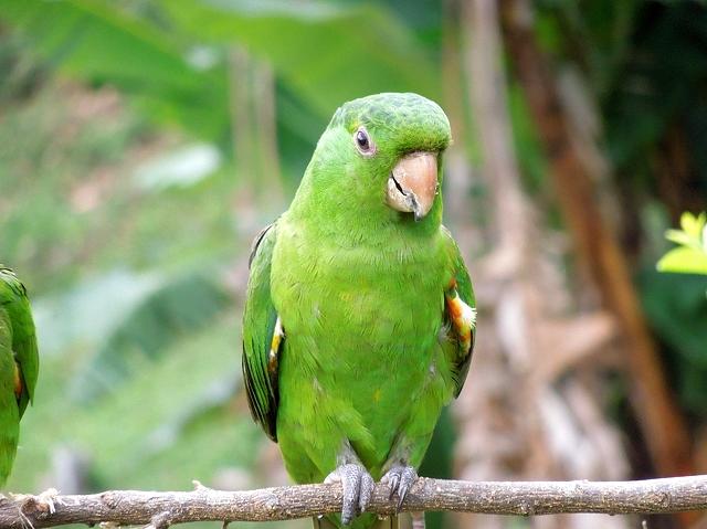 PAG-perico-verde-claro