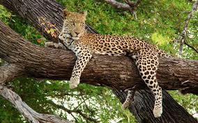 PAJ-jaguaroye