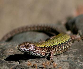 PAG-reptil1.1