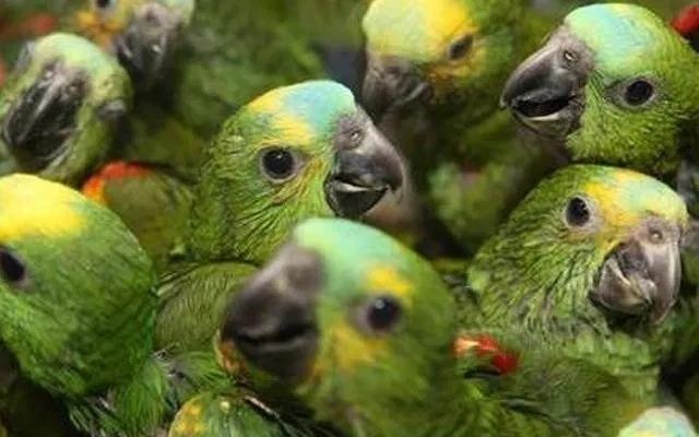 PAG-periquitos