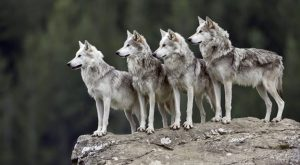 PAG-lobo-familiares