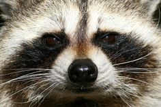 PAG-mapache