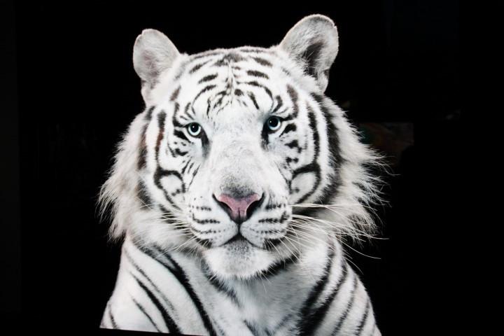 PAG-tigrebengala