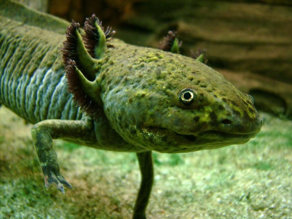 PAG-Axolotl_Portrait.jpg