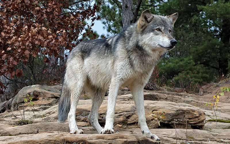 PAG-lobo-gris-800