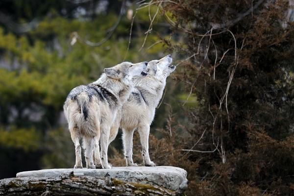 PAG-lobosdos