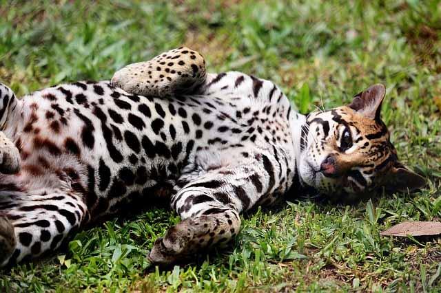 PAG-ocelote-gato-salvaje
