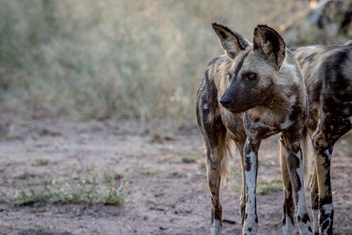 PAG-perro-salvaje-africano-peligro-extincion.jpg