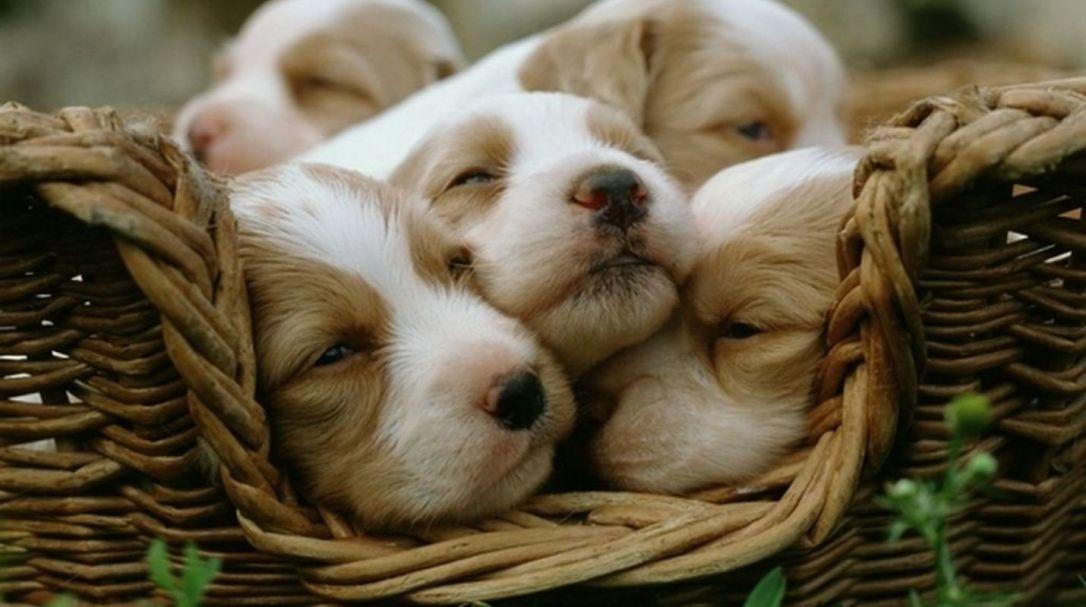 PAG-cachorros