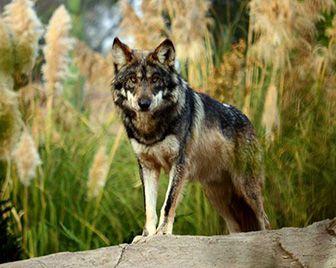 PAG-donde-vive-el-lobo-mexicano