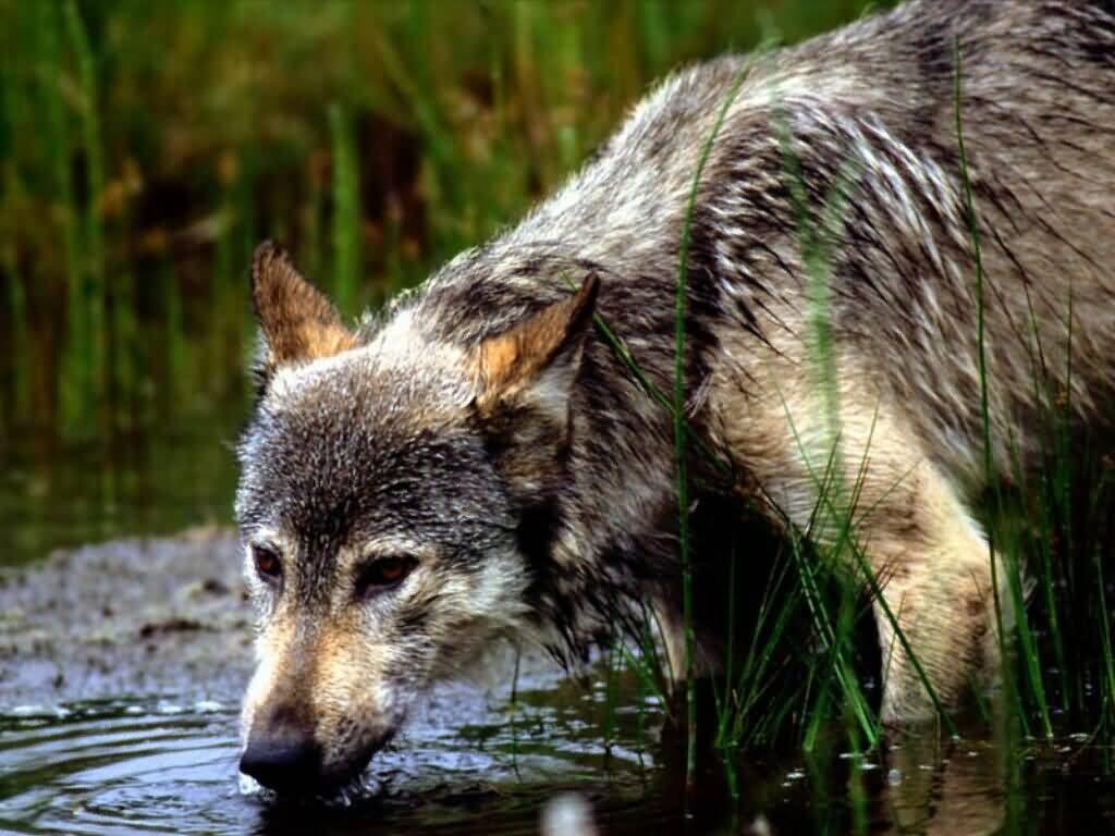 PAG-lobo-bebiendo-agua