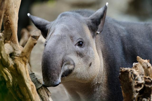 PAG-tapir-centroamericano